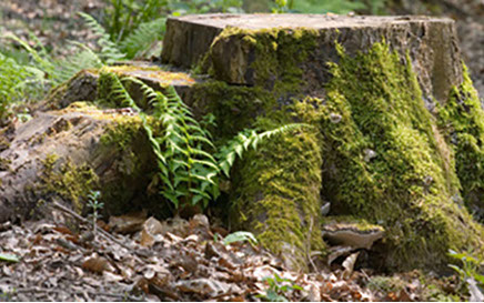 image of a moss covered tree stump with ferns growing out of it